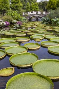 パラグアイオニバス 草津市立水生植物公園の写真素材 [FYI04599424]