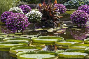 パラグアイオニバス 草津市立水生植物公園の写真素材 [FYI04599426]