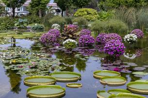 パラグアイオニバス 草津市立水生植物公園の写真素材 [FYI04599427]