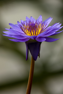 熱帯性スイレン 草津市立水生植物公園の写真素材 [FYI04599432]