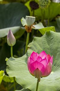 ハス 草津市立水生植物公園の写真素材 [FYI04599433]