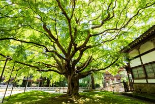 緑の雷山千如寺の大カエデの写真素材 [FYI04599556]