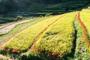 実った稲と彼岸花のある風景の写真素材 [FYI04599588]