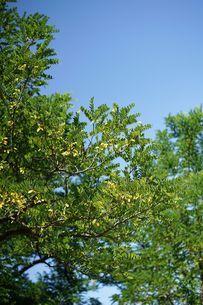 羽状複葉の樹木の写真素材 [FYI04599773]