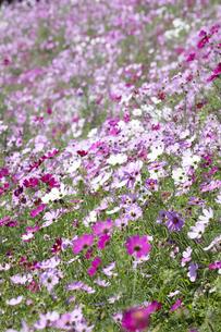 コスモスの花畑の写真素材 [FYI04599946]