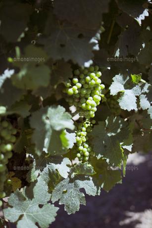 白ワイン用の葡萄の写真素材 [FYI04600203]
