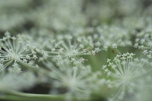 屋外で撮影したシシウドの花の写真素材 [FYI04600253]