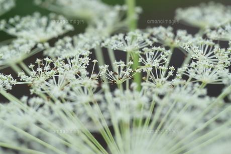 屋外で撮影したシシウドの花の写真素材 [FYI04600254]