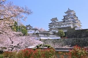 姫路城とサクラの写真素材 [FYI04600312]