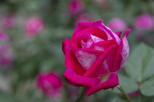 赤いバラの花の写真素材 [FYI04600398]