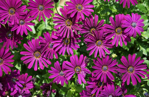 オステオスペルマムの花の写真素材 [FYI04600619]