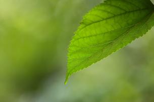 一枚の葉の写真素材 [FYI04600765]