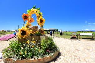 ソレイユの丘(長井海の手公園)の向日葵の写真素材 [FYI04600773]