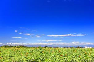 ソレイユの丘(長井海の手公園)の向日葵の写真素材 [FYI04600774]