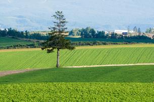 緑の畑に立つ松の木の写真素材 [FYI04600949]