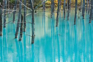古木を映す青い池の水面の写真素材 [FYI04600950]