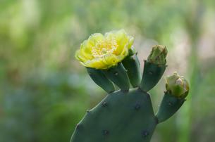ウチワサボテンの黄色い花の写真素材 [FYI04601086]