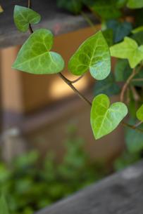 ハートの形をした新緑のアイビーの葉のクローズアップ写真の写真素材 [FYI04601096]
