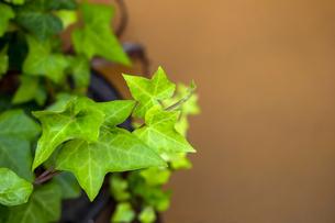新緑のアイビーの葉クローズアップ写真の写真素材 [FYI04601099]