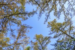 黄葉したカラマツ 上高地 長野県松本市の写真素材 [FYI04601339]
