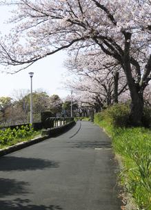 水元さくら堤の遊歩道と満開の桜並木の写真素材 [FYI04601499]