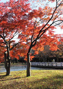 代々木公園のもみじの紅葉の写真素材 [FYI04601517]