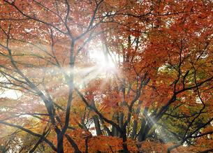 代々木公園のもみじの紅葉の写真素材 [FYI04601518]