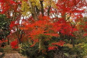 11月 紅葉の京都植物園の写真素材 [FYI04601718]