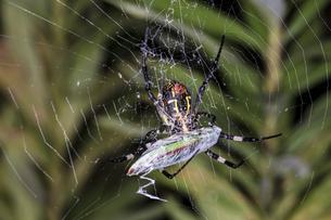 蜘蛛の巣にかかったヤマトタマムシをクモ糸でぐるぐる巻きにするコガネグモのメスの写真素材 [FYI04601756]