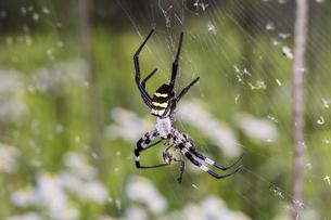 甲虫類を捕食するコガネグモのメスの写真素材 [FYI04601764]
