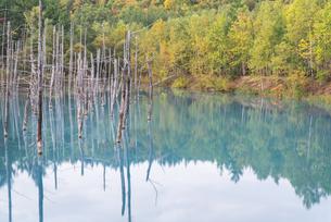 初秋の青い池の写真素材 [FYI04601946]