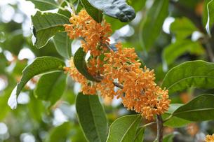 キンモクセイの花の写真素材 [FYI04601948]