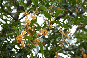キンモクセイの花の写真素材 [FYI04601950]