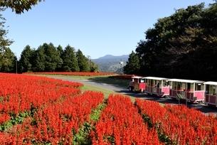青空のとっとり花回廊,花の丘のサルビアとフラワートレインの写真素材 [FYI04601954]