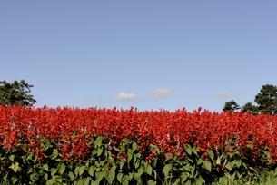 青空のとっとり花回廊,花の丘のサルビアの写真素材 [FYI04601956]