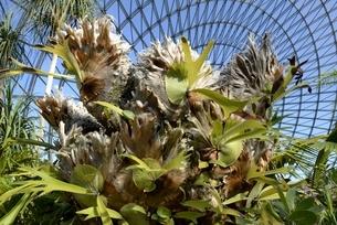 とっとり花回廊,フラワーパーク,ビカクシダの写真素材 [FYI04601972]