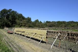 鳥取県,青空と稲の収穫後自然乾燥の写真素材 [FYI04602003]