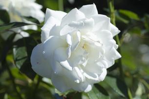 白いバラの花の写真素材 [FYI04602076]