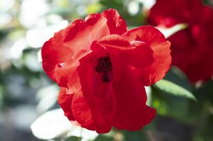 赤いバラの花の写真素材 [FYI04602078]