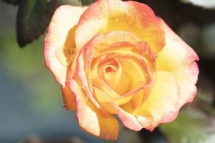赤と黄色のバラの花の写真素材 [FYI04602080]