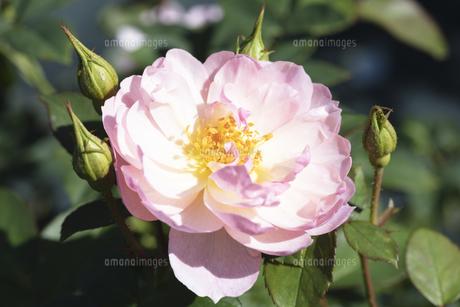 ピンクのバラの花の写真素材 [FYI04602088]