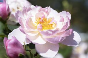 ピンクのバラの花の写真素材 [FYI04602090]