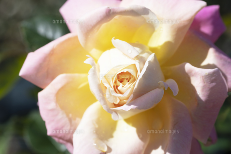 ピンクと黄色のバラの花の写真素材 [FYI04602092]