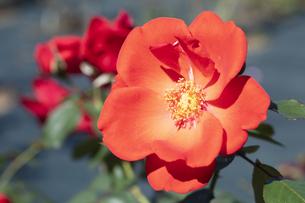 オレンジ色のバラの花の写真素材 [FYI04602094]