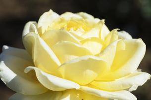 黄色いバラの花の写真素材 [FYI04602098]