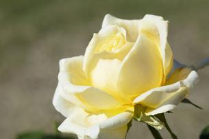 黄色いバラの花の写真素材 [FYI04602101]