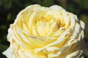 黄色いバラの花の写真素材 [FYI04602102]