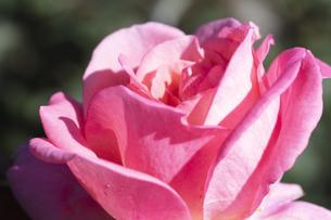 ピンクのバラの花の写真素材 [FYI04602112]