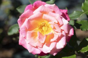赤と黄色のバラの花の写真素材 [FYI04602116]