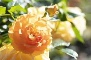 黄色いバラの花の写真素材 [FYI04602120]